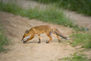 Young European red fox crossing a farm track