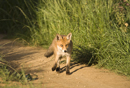 Young European red fox on a farm track