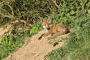 European red fox cub relaxes at entrance to den