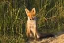 Young European red fox at the edge of a farm track