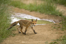 Young European red fox crossing a farm track after heavy rain