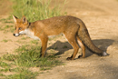European red fox on a farm track in the early evening sun