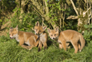 European red fox cubs under a hedgerow near den