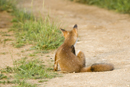 European red fox cub sitting on farm track grooming