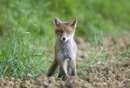 European red fox cub