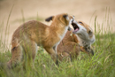 Young European foxes fight over food