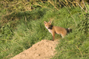 European red fox cub at the entrance to the den