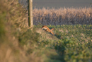 European red fox leaps on prey at the edge of a field