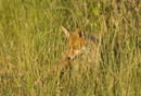 Young European red fox in the long grass