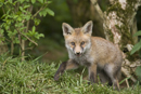European red fox cub under a hedgerow near den