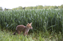 Young European red fox at the edge of a field of wheat