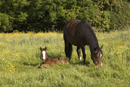 Mare and foal relax in a field in the early morning sun