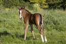 Young foal in a field