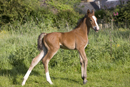 Young foal in a field in the early morning sun