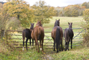 Mares and foals look at their new field.