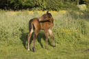 Young foal grooming in a field