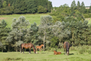 Mares and foals in a field