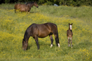 Mares and foal in a field