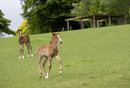 Young foals playing in a field