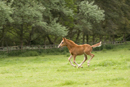 Young foal running in a field