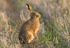 European Brown Hare Gallery 1